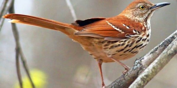 Brown Thrasher