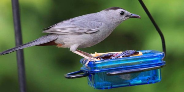 Catbird on fruit feeder