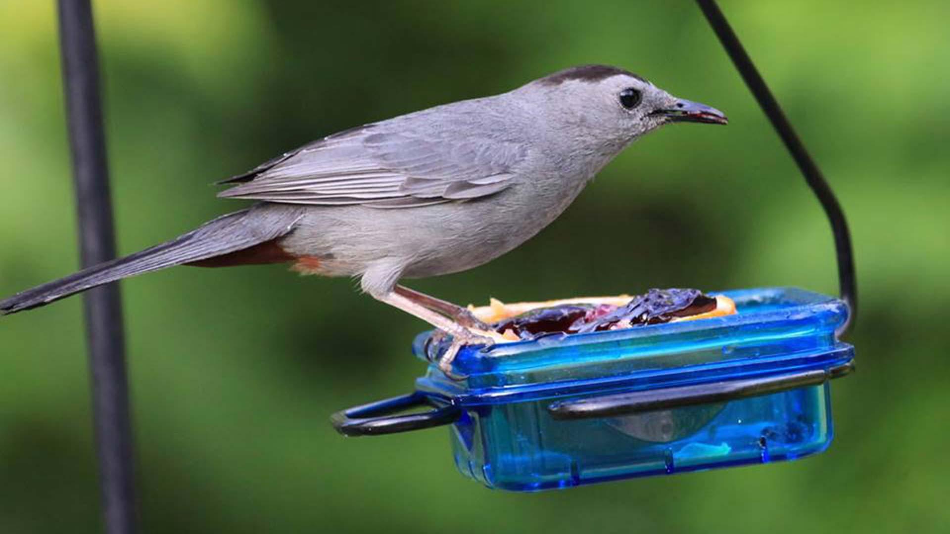 Catbird on fruit feeder