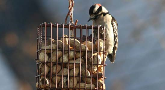 Downy Woodpecker eating peanuts